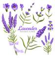lavender set watercolor flowers vector image