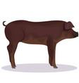 duroc pig cartoon vector image vector image