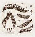 digital detailed line art pea vector image