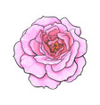 pink rose flower fully open realistic hand drawn vector image vector image