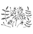 hand sketched jasmine botanical leaves and vector image