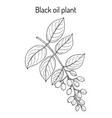 black oil plant or intellect tree celastrus vector image