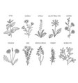 medical herbs herbal floral collection healthy vector image vector image