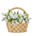 bouquet of snowdrops in a basket vector image vector image