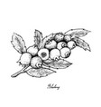 hand drawn of ripe blueberries on white background vector image