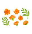 set orange marigold blooms and green leaves vector image vector image