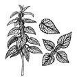 hand drawn set of nettle vintage sketch vector image vector image