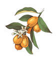 hand drawn blooming kumquat branch with ripe vector image vector image