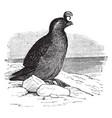 crested auklet vintage vector image vector image