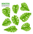 various monstera leaves vector image