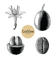 coffee flowercoffee bean hand drawing vintage vector image vector image