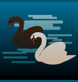 black and white swans on water vector image