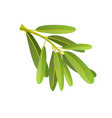 flat olives branch isolated on vector image vector image