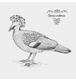 Victoria Crowned Pigeon engraved hand drawn