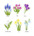 set spring flowers muscari tulip crocus vector image