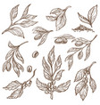 olive branches and cocoa beans isolated sketches vector image