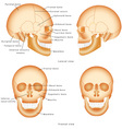 Human Skull structure vector image
