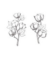 branches cotton in sketch style vector image vector image