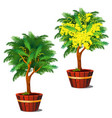 stages growth and flowering potted shrub vector image
