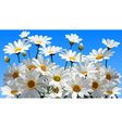 daisy flowers on a blue background vector image vector image