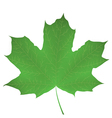 Maple leaf isolated on white vector image vector image