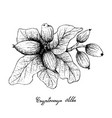 hand drawn of cryptocarya alba fruits on white bac vector image vector image