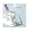 hand drawn lavender flower isolated vector image