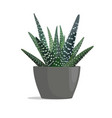 haworthia - zebra cactus vector image vector image