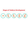 stages of embryo development flat vector image vector image