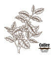 hand drawn coffee branch with berries and leaves vector image vector image