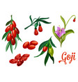 goji plant with berry and flower botanical design vector image vector image