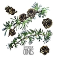 Watercolor larch cones and branches vector image