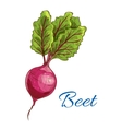 beet icon fresh farm vegetable tuber with leaves vector image