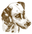 engraving dalmatian head vector image