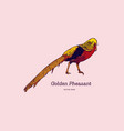 drawing of the golden pheasant or chinese vector image