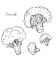 hand drawn broccoli vector image