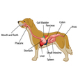 Cartoon of digestive system of the dog anatom vector image vector image