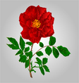 Rose red flower stem with leaves and blossoms vector image vector image