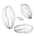 hand drawn chinese cabbage vector image