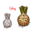 fresh celery root sketches color and monochrome vector image