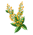 Yellow Padauk Flower Isolated on White Background vector image