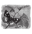 limenitis camilla vintage vector image vector image
