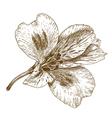 engraving tiger lily vector image vector image