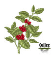 hand drawn coffee plant with berries and leaves vector image