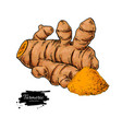 turmeric root hand drawn vector image vector image