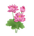 lotus flowers on a white background the stages of vector image vector image