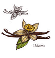 vanilla flower spice herb sketch plant icon vector image