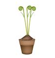 Fresh Green Fiddleheads in Ceramic Flower Pots vector image vector image