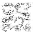 fresh shrimps prawn hand drawn set vector image