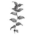 Asparagus Fern vintage engraving vector image vector image